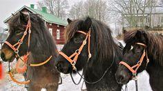 Bitless Triplet: Högni, Vidar & Naskör in Hestbakki, Finland  Photo by Ritva Ikonen