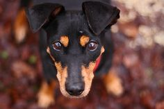 Miniature Pinscher / zwergpinscher / min-pin / King of the Toys