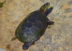 https://flic.kr/p/JxasMu | Midland Painted Turtle | There are three subspecies of painted turtle in Canada, two of which occur in Ontario. Napanee River, Ontario 1 July 2016