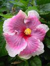 Tahitian Hibiscus Tahitian Passion Queen
