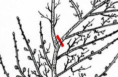 Tvar, Rooster, Gardening, Lawn And Garden, Horticulture, Chicken