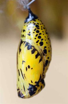 Butterfly chrysalis that looks like a spotty banana.