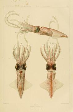 Dessins et illustrations de céphalopodes