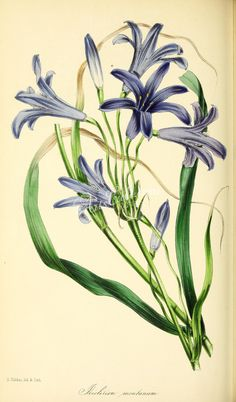 Mountain Ixia-Lily, ixiolirion montanum      ...