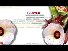Hibiscus benefits. Plant, flowers. - Pharmacognosy - Medicinal Plants