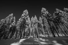 Pini innveati ...Marzo 2016 www.fotomaddalena.it #fotomaddalena #stefanomaddalena #verbania #lagomaggiore #neve #snow #tree #wow #photo #lakemaggiore #mountain #piemonte #nikon #d610