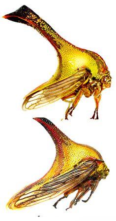Umbonia crassicornis, male and female