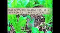 How to Protect Seedlings from Pests with a DIY Plastic Bottle Cloche: Learn a quick, easy way to protect young plants from insect and pest damage with this DIY tutorial. Save your seedlings from grasshoppers, caterpillars, slugs and snails with this simple garden hack. Dig into the Tips Summary at the end after the How-To demo. Visit https://themicrogardener.com/november-2017-newsletter/ for more organic pest management tips. | The Micro Gardener