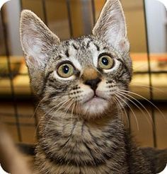 My name is Garnet. I'm a female domestic shorthair tabby.  Come see me at Petsmart in The District Tustin.