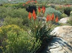Aloe Khamiesensis growing in habitat Kamieskroon Khamiesberg Aloe Khamiesberg-alwyn 3 m S A no Plants, Garden, Growing, Cacti And Succulents, Adenium, Aloe, Cactus And Succulents, Trees To Plant, Garden Plants
