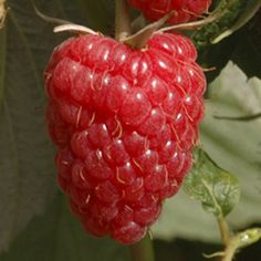The Diligent Gardener: A Beginner's Guide to Growing Raspberries