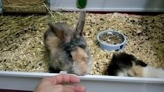 Guinea pig and rabbit