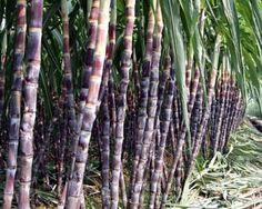 健康一級棒: 甘蔗除了成製成蔗糖之外 您知道甘蔗的營養價值嗎?