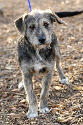 Joe is an adoptable Terrier Dog in Johnson City, TN. Female dogs are 95.00. Male dogs are 80.00. This pays for their spay or neuter. If they are already spayed or neutered, they are only 35.00! For mo...