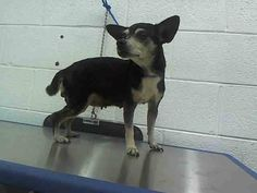 MIRTHA (A1643896) I am a female black and cream Chihuahua - Smooth Coated. The shelter staff think I am about 9 years old. I was found as a stray and I may be available for adoption on 09/18/2014. — hier: Miami Dade County Animal Services. https://www.facebook.com/urgentdogsofmiami/photos/pb.191859757515102.-2207520000.1410557750./839111772789894/?type=3&theater