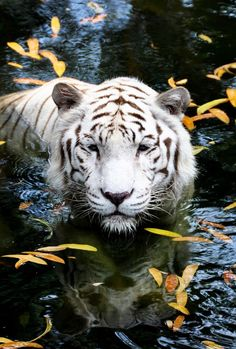 White Bengal Tiger moment love. Wild Fauna Love
