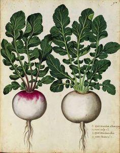 Radishes. Antique Italian botanical print.