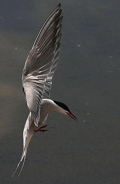 Common Tern: Seen in Wild (Atlantic Ocean off Coast of Maine)