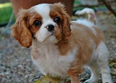 King Charles Springer Spaniel! I'm getting one first chance I get!