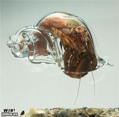 hermit crab with a transparent shell...why don't they sell these instead of painted shells?? I'd totally have a hermit crab for a pet :)