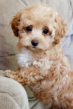 Maltipoo puppy ~ popular cross between a Maltese and Poodle, known for fun-loving and affectionate nature.