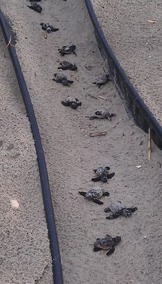 Baby sea turtles headed down the runway! Oak Island, NC