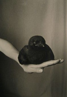 fledgling american crow on hand • robert langham