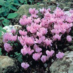 Cyclamen hederifolium (of neapolitanum ) good for under planting trees.