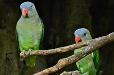 As a pet, the Blue Rumped Parrot is generally considered to be a calm, docile bird. Their quietness and sweet nature make them great apartment pets. Beautiful Birds, Animals Beautiful, Bird Breeds, Nature, Pictures, Blue, Parrots, Calm, Butterflies