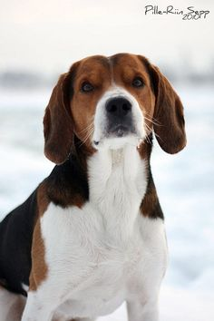 Estonian Hound / Eesti Hagijus #Dogs #Puppy