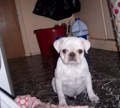 I want a white pug.... To bad there $1600 ...