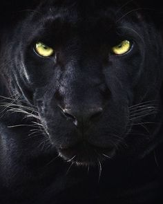 19 Stunning Photos Of A Rare Black Panther Roaming In The Jungles Of India | Bored Panda Black Panthers, Beautiful Cats, Animals Beautiful, Wildlife Photography, Animal Photography, Big Cats, Cats And Kittens, Animals And Pets, Cute Animals
