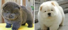 Two Adorable Little Fluffy Chow Chow Puppies ~ The Chow Chow is uniquely Adorable with a Black Tongue and super thick double coat. The ancient Chinese Breed clearly resembles a Teddy Bear! - 23 Chubby Puppies Mistaken For Teddy Bears Chubby Puppies, Teddy Bear Puppies, Teacup Puppies, Cute Puppies, Cute Dogs, Dogs And Puppies, Teddy Bears, Samoyed Puppies, Perros Chow Chow