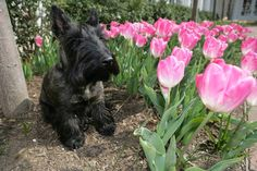REST IN PEACE, MISS BEAZLEY BUSH ~ President and Mrs. George W. Bush lost their precious Miss Beazley this weekend. Miss B. and the famous First Dog, Barney Bush, have gone to their eternal rest, and wait at the Rainbow Bridge.