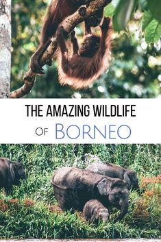 Explore the amazing wildlife in Borneo when traveling to Sabah. What animals can you find? Pygmy Elephants, Sun Bears, Orangutans & Proboscis monkeys!  #borneo  Borneo travel | Animals in Borneo | Borneo Rainforest |Borneo animals | Borneo rainforest animals | Pygmy elephant Borneo | Borneo sun bear | Endemic animals in Borneo | Wildlife in Sabah, Malaysia | Turtle Island in Borneo | Orangutan sanctuary in Borneo Orangutan Sanctuary, Borneo Orangutan, Orangutans, Borneo Rainforest, Rainforest Animals, History Of Malaysia, Borneo Travel, Malaysia Travel Guide