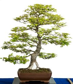 Old Acer palmatum bonsai tree