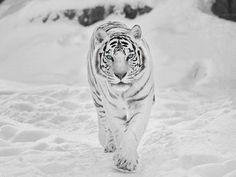 A Siberian snow tiger