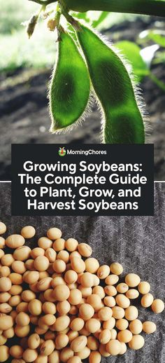 Growing Soybeans: The Complete Guide to Plant, Grow, and Harvest Soybeans Edible Garden, Vegetable Garden, Gardening Vegetables, Homemade Tofu, Types Of Beans, Bean Plant, Vegetarian Protein, Edamame, Medicinal Herbs