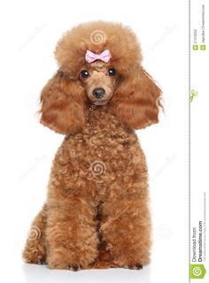 toy-poodle-puppy-white-background-27419250.jpg (957×1300)
