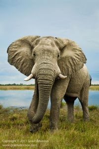 'Savutie' Bulk Grazer! Bull elephant feeding along the Savuti River. Botswana by Atkinson Photography and Safaris. Join him on an upcoming trip later this year: http://www.grantatkinson.com/photo-safaris/scheduled-2016/authentic-botswana-photo-safari-september-trip-1