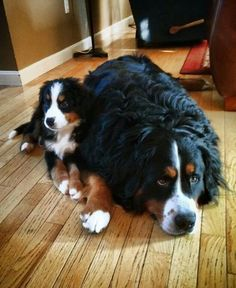 Look how cute these Bernese Mountain Dogs are! Just a puppy and his mom hanging out