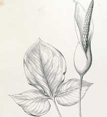 Flora brasiliensis, CRIA