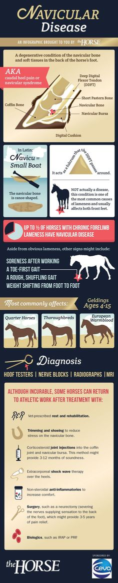 Navicular Disease in Horses - The navicular is a tiny bone that can cause big problems in horses. It and its associated structures are responsible for up to 1/3 of all front-limb lamenesses.