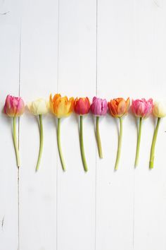 tulips \ photo: holl