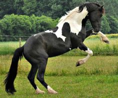 Barockpinto stallion, Bonte Ben. A recent Dutch breed originally developed from crossing Friesian stallions with spotted warmblood or thorughbred mares.