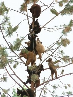 Lots of bear cubs. In a tree. Amazing. Click the picture for even MORE!!
