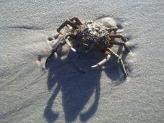 Mr. Crab N.S.
