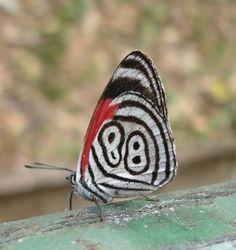 Mariposa Cataratas d