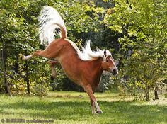 Haflinger Horse... Honey did this little dance once. WITH ME ON HER BACK. She's such a darn mare sometimes!