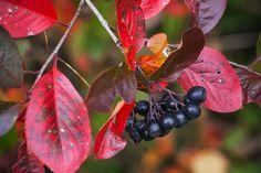 listy aronie se na podzim zbarví do syté červeně Smoothie, Blueberry, Berries, Survival, Fruit, World, Health, Tips, Extra Cash
